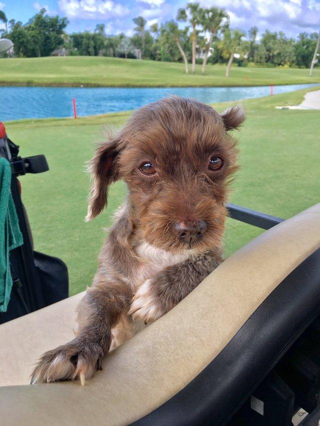 Hond Millie op golfkar