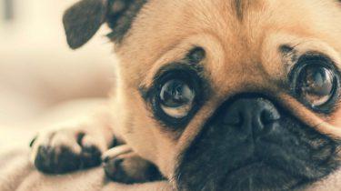 Een zielig kijkende pug, hond uitlaten