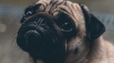 Een kleine pug, blindengeleidehond