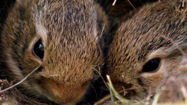 foto van twee konijntjes, bomalarm Australië
