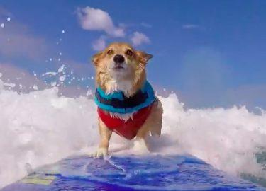 surfende hond